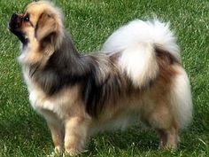 The Tibetan Spaniel was bred in ancient Tibet as a monks' companion.  It is good with children, comfortable in urban spaces, & amenable to cold climates.  However, it can be difficult to train, requires a lot of exercise, and has a tendency to yap.