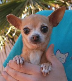 TESSIE~ <3 Nevada Society for the Prevention of Cruelty to Animals, Inc. (Nevada SPCA) 4800 W. Dewey Drive, Las Vegas, NV  89118  Petite lovebug, darling Chihuahua, spayed girl, 12 yrs. She likes being held & snuggled!  She only weighs 4 lbs, so please take extra safety precautions for her in your home & yard.  She is reportedly housetrained.  She is good w/ dogs.  Gentle home needed.