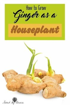 How to Grow Ginger as a Houseplant- Ginger is an easy plant to grow indoors and in any climate so you can have ginger for cooking any time! Indoor gardening tip for your DIY herb garden.