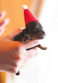 ˚Santa Puppy Yorkshire Terrier