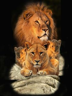 Infront of a successful male is his mate. Cubs Tattoo, Lioness Tattoo, Beautiful Cats, Animals Beautiful, Cute Animals, Lion Family, Family Family, Lion Tattoo Sleeves, Lion Photography