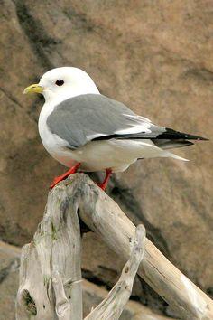 Red-legged Kittiwake - looks like a mini seagull; takes me to the beach.