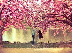 Kiss under cherry blossom trees Cherry Blossom Tree, Blossom Trees, Cherry Tree, Pink Blossom, Tree Wallpaper, Nature Wallpaper, Mac Wallpaper, Couple Wallpaper, Tree Photography