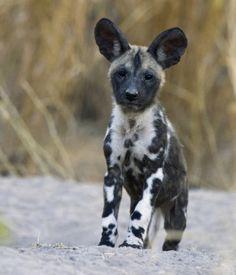 puppy.African wild dog | African Wild Dog puppy