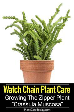 Growing Crassula Muscosa: Tips On Watch Chain Plant Care pflanzen pflege Crassula Succulent, Succulent Gardening, Succulent Care, Indoor Gardening, Types Of Succulents, Cacti And Succulents, Planting Succulents, Cactus House Plants, Jade Plants
