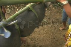 Procession of pigs - Stock Footage | by youseehim