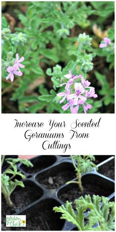 can increase your scented geraniums by rooting cuttings from the plant. Container Herb Garden, Diy Herb Garden, Vegetable Garden Design, Container Plants, Garden Ideas, Geranium Plant, Scented Geranium, Gardening For Beginners, Gardening Tips
