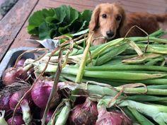 Me and onions. わたくしと玉ねぎ。#Dachshund #ダックス
