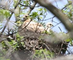 Red Tail Hawk with young:   This very attendant mother lives outside of Monkton, Ontario.  Her mate is frequently seen hunting in the area.    What a wonderful picture of a Red
