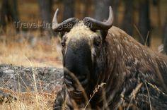 goat-antelope2.jpg (700×464)