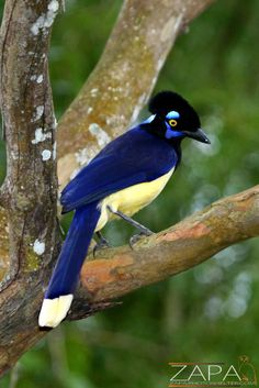 """Plush-crested Jay ~ Brazil ~ Miks' Pics """"Fowl Feathered Friends V"""" board @ http://www.pinterest.com/msmgish/fowl-feathered-friends-v/"""