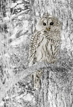 White barred owl in the snow.