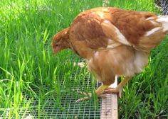 Get cooped up chickens fresh grass by building a protective frame. They eat the tops, but can't scratch up the whole deal.