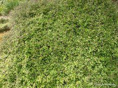 T.E.R:R.A.I.N - Taranaki Educational Resource: Research, Analysis and Information Network - Helichrysum lanceolatum (Niniao)