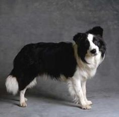 MISSY LOU is an adoptable Border Collie Dog in San Pedro, CA.   Missy Lou is quite a stunning classically marked black and white purebred semi rough coated Border Collie. This gorgeous gal is almost 9...