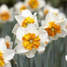 Daffodil, split-cup hybrids from bhg.com