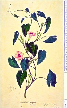 morning glory, floriology, florilegium, Mrs Morgan's Florilegium, Tahiti, Sydney Parkinson, transit of Venus,