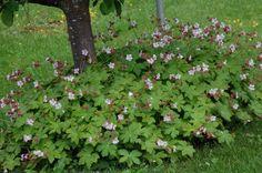 Näva som marktäckare under äppelträd. Trädet får sin gräsfria zon utan att ogräs får fäste. Blad & viss fallfrukt kan ligga kvar & förmultna & ge näring utan at det ser fult ut, dolt av marktäckaren.