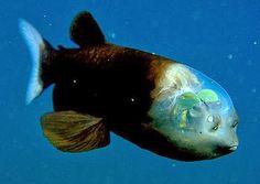 BioOrbis: O Peixe da Cabeça Transparente