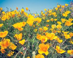 Taken Near Big Sur California, a Poppy Field in Full Bloom. Thanks for viewing this photo! If you love it don't forget to favorite ♥ it! Prints come in 7 sizes!  #Flower #Poppy #Poppies #California #Yellow #Green #Blue #CaliforniaPoppy #Nature #Etsy #EtsyStore #EtsyShop #EtsySeller #Print #NaturePhotography #Photography