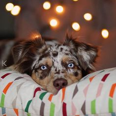 Koa the Australian Shepherd. We enjoy the last hours of 2016. Time to say: Thank you. Thank you for all your hearts, lovely comments and useful tips. Can't imagine our daily life without our friends around the world. Best wishes for a fabulous new year. Hello 2017 😘❤🎉