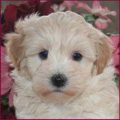 Maltipoo Puppies for Sale  Dog Breeders  Mixed Breeds   Iowa