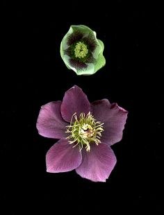 Helleborus blooms by Horticultural Art