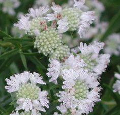 Pycnanthemum virginianum - Virginia Mountain Mint