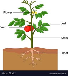 Showing the parts of a tomato plant vector image on VectorStock Tomato Garden, Tomato Plants, Plant Lessons, Learning English For Kids, Decorated Flower Pots, Plant Projects, Plant Vector, Art Drawings For Kids, Parts Of A Plant