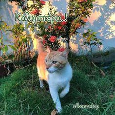 Καλησπέρα με Εικόνες Τοπ - eikones top Cats, Animals, Gatos, Animales, Animaux, Animal, Cat, Animais, Kitty