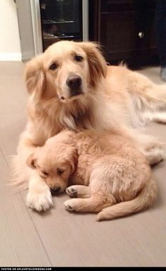 Golden Retrievers Taking A Nap ::: Visit our poster store Rover99.com