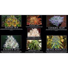 Cannabis Biblically  ( marijuana cannabis )