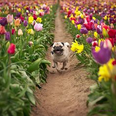 "Wallace refused to tiptoe. ""One of my pugs frolicking at the Wooden Shoe Tulip Farm in Woodburn, OR."""