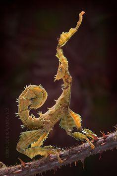 Devil's Flower Mantis (Idolomantis diabolica)