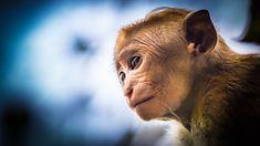 Monkey by vidunderliglede #ErnstStrasser #SriLanka