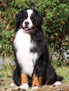 The Bernese Mountain Dog, called in German the Berner Sennenhund, is a large breed of dog, one of the four breeds of Sennenhund-type dogs from the Swiss Alps.