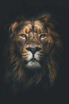 Lion II Wallpaper