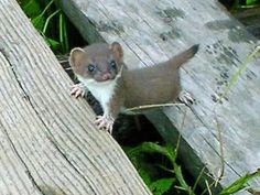 Baby short tailed weasel - photo#30
