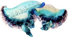 men-of-war-jellyfish-as-fine-art-4