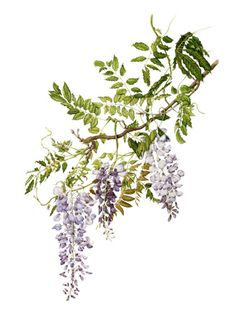 wisteria can frame the lantern, but would rather focus on the leaves than the flowers