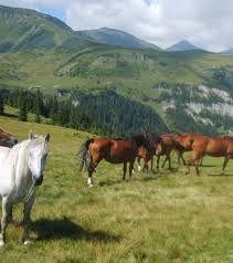 borsa maramures cai - Google Search Cow, Google Search, Animals, Ideas, Animales, Animaux, Cattle, Animal, Animais