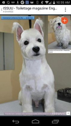 Asian westie groom