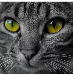 Photo - Google+ Cat Eyes! Cute Cats And Kittens, Kittens Cutest, I Love Cats, Crazy Cats, Gato Gif, Animals And Pets, Cute Animals, Beautiful Cats, Animals Beautiful