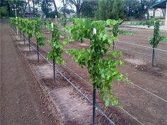 I Heard it through the Grapevine Scott's One Year Old Grape Vine Pictures - Free Grape Growing Tips and Help To Grow Your Own Grapes Backyard Vineyard, Grape Vineyard, Grape Vine Trellis, Grape Vines, Grape Plant, Grape Arbor, Chateauneuf Du Pape, Growing Grapes, How To Grow Grapes