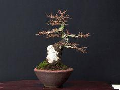 ニレケヤキ寒樹(20cm)