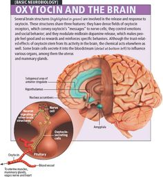 Feel good oxytocin and the brain (infographic)                                                                                                                                                     More