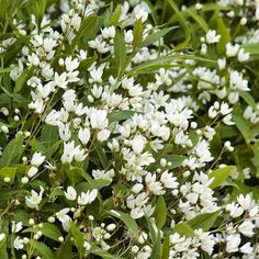Adding this beautiful shrub to our spring garden wish list! Those petite white fragrant flowers are darling! In the fall its leaves turn burgundy. Such a show! (Shown: Dwarf Nikko Deutzia zones 5-8). A wonderful spring accent becomes quite showy when covered by double blooms.