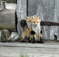 young fox cubs you can go first I'm right behind you!!!!