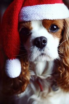 Christmas dogs Cavalier king Charles SPaniel kerst hond - Christmas dog