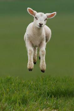 Happy spring!  photographer  Roeselien Raimond  #spring #lamb